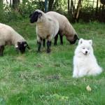 Samojedenwelpe mit Schafen im unserem Garten