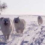Samojeden im Schnee