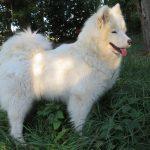 Caprice Luxury White Siberian Suny